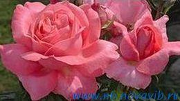Роза - уроки Регины Бретт